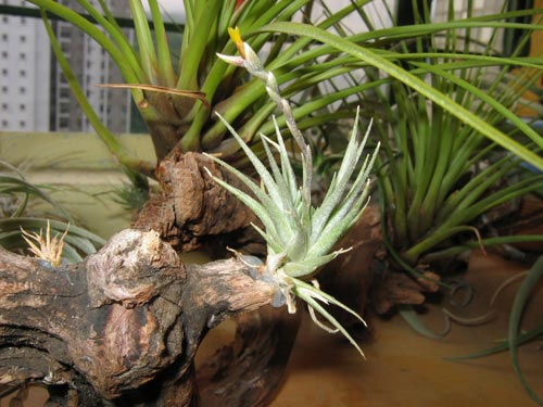 Tillandsia loliacea with flower spike