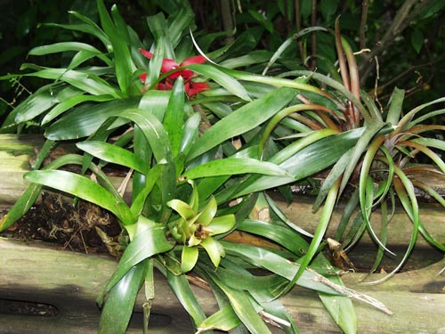A selection of Bromeliads planted in a horizontal hollow branch