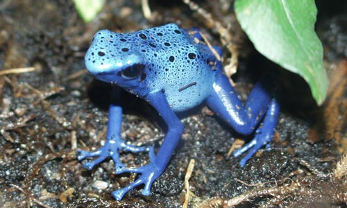 The superb blue form of Dendrobates tinctorius looks outstanding amongst the green and brown of any paludarium