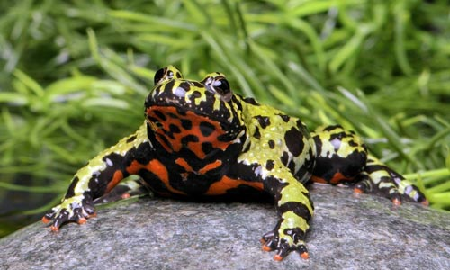 The oriental fire-bellied toad, Bombina orientalis is a perfect paludarium subject