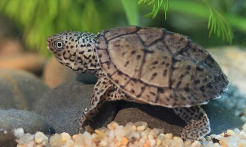 The loggerhead musk turtle is a small freshwater turtle