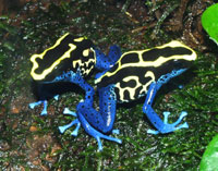 Poison Dart Frogs also thrive in a well set-up Paludarium