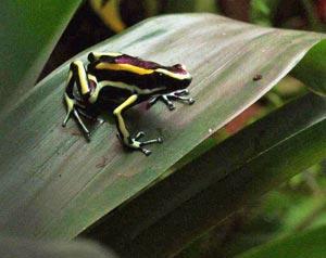 Poison arrow frog on Anubias lanceolata leaf