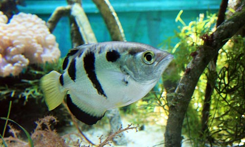 Archerfish make excellent paludarium species, because of their everso interesting hunting behaviour